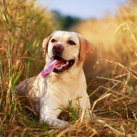 Labrador Retriever Ausführliche Rassebeschreibung, Fotos, Intelligenz, Hundenamen, Hypoallergene: nein