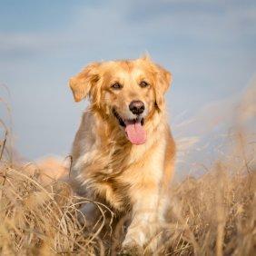 Golden Retriever Ausführliche Rassebeschreibung, Fotos, Intelligenz, Hundenamen, Hypoallergene: nein