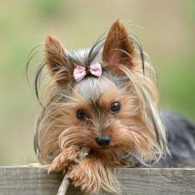 Yorkshire Terrier Ausführliche Rassebeschreibung, Fotos, Intelligenz, Hundenamen, Hypoallergene: ja