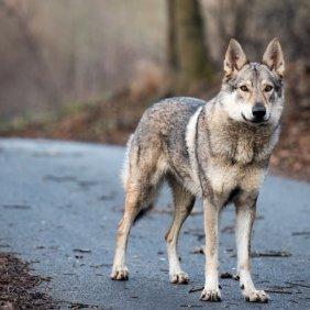 Tschechoslowakischer Wolfhund Ausführliche Rassebeschreibung, Fotos, Intelligenz, Hundenamen, Hypoallergene: nein