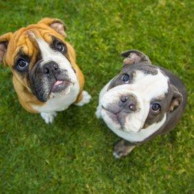 Olde English Bulldogge Ausführliche Rassebeschreibung, Fotos, Intelligenz, Hundenamen, Hypoallergene: nein