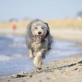 Bearded Collie Ausführliche Rassebeschreibung, Fotos, Intelligenz, Hundenamen, Hypoallergene: nein