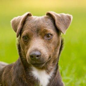 Patterdale Terrier Ausführliche Rassebeschreibung, Fotos, Intelligenz, Hundenamen, Hypoallergene: nein