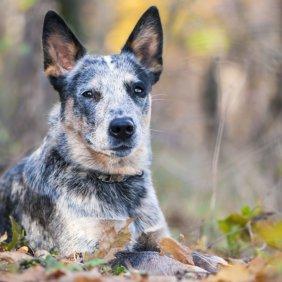 Australian Cattle Dog Ausführliche Rassebeschreibung, Fotos, Intelligenz, Hundenamen, Hypoallergene: nein