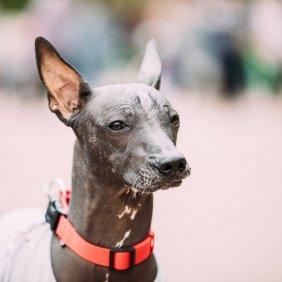 Xoloitzcuintle Ausführliche Rassebeschreibung, Fotos, Intelligenz, Hundenamen, Hypoallergene: ja