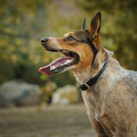 Australian Stumpy Tail Cattle Dog Ausführliche Rassebeschreibung, Fotos, Intelligenz, Hundenamen, Hypoallergene: nein