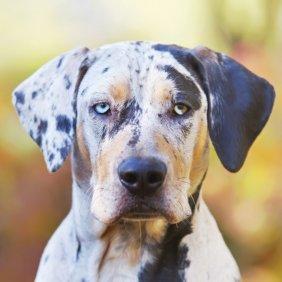 Louisiana Catahoula Leopard Dog Ausführliche Rassebeschreibung, Fotos, Intelligenz, Hundenamen, Hypoallergene: nein