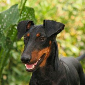 Manchester Terrier Ausführliche Rassebeschreibung, Fotos, Intelligenz, Hundenamen, Hypoallergene: nein