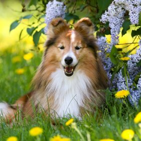 Shetland Sheepdog Ausführliche Rassebeschreibung, Fotos, Intelligenz, Hundenamen, Hypoallergene: nein