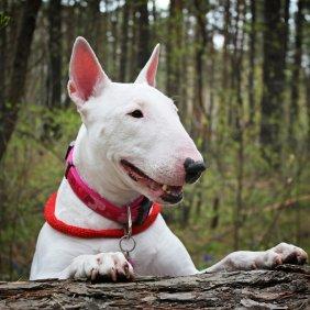 Bullterrier Ausführliche Rassebeschreibung, Fotos, Intelligenz, Hundenamen, Hypoallergene: nein