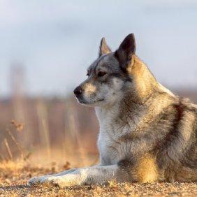 Russisch-Europäischer Laika Ausführliche Rassebeschreibung, Fotos, Intelligenz, Hundenamen, Hypoallergene: nein
