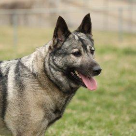 Norwegischer Elchhund grau Ausführliche Rassebeschreibung, Fotos, Intelligenz, Hundenamen, Hypoallergene: nein