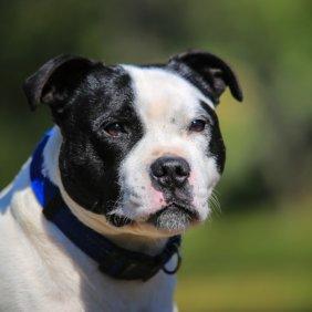 Staffordshire Bullterrier Ausführliche Rassebeschreibung, Fotos, Intelligenz, Hundenamen, Hypoallergene: nein