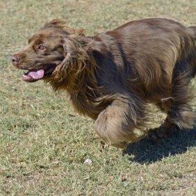 Sussex Spaniel Ausführliche Rassebeschreibung, Fotos, Intelligenz, Hundenamen, Hypoallergene: nein