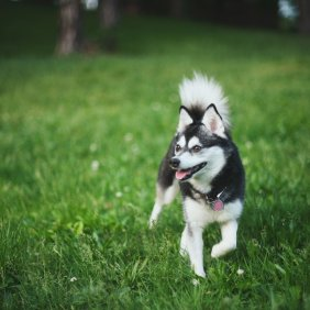 Alaskan Klee Kai Ausführliche Rassebeschreibung, Fotos, Intelligenz, Hundenamen, Hypoallergene: nein