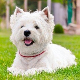 West Highland White Terrier Ausführliche Rassebeschreibung, Fotos, Intelligenz, Hundenamen, Hypoallergene: ja