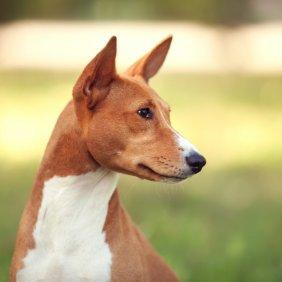 Basenji Ausführliche Rassebeschreibung, Fotos, Intelligenz, Hundenamen, Hypoallergene: ja