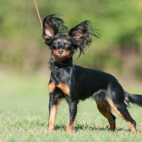 Russkiy Toy Ausführliche Rassebeschreibung, Fotos, Intelligenz, Hundenamen, Hypoallergene: nein