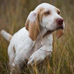 Braque de l'Ariège Ausführliche Rassebeschreibung, Fotos, Intelligenz, Hundenamen, Hypoallergene: nein