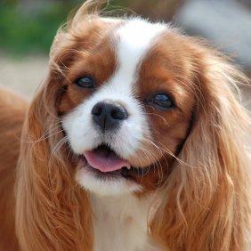 Cavalier King Charles Spaniel Ausführliche Rassebeschreibung, Fotos, Intelligenz, Hundenamen, Hypoallergene: nein