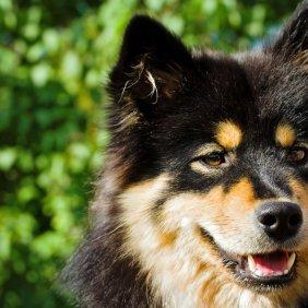 Finnischer Lapphund Ausführliche Rassebeschreibung, Fotos, Intelligenz, Hundenamen, Hypoallergene: nein