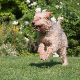 Otterhund Ausführliche Rassebeschreibung, Fotos, Intelligenz, Hundenamen, Hypoallergene: nein