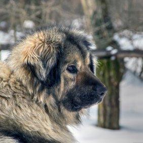 Šarplaninac Ausführliche Rassebeschreibung, Fotos, Intelligenz, Hundenamen, Hypoallergene: nein