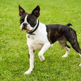 Boston Terrier Ausführliche Rassebeschreibung, Fotos, Intelligenz, Hundenamen, Hypoallergene: nein