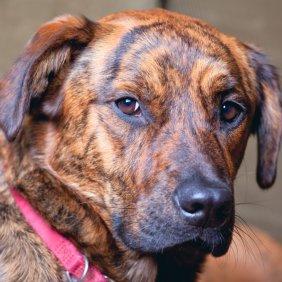 Plott Hound Ausführliche Rassebeschreibung, Fotos, Intelligenz, Hundenamen, Hypoallergene: nein