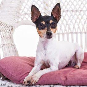 American Toy Terrier Ausführliche Rassebeschreibung, Fotos, Intelligenz, Hundenamen, Hypoallergene: nein