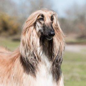 Afghanischer Windhund Ausführliche Rassebeschreibung, Fotos, Intelligenz, Hundenamen, Hypoallergene: ja