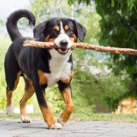 Entlebucher Sennenhund Ausführliche Rassebeschreibung, Fotos, Intelligenz, Hundenamen, Hypoallergene: nein