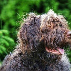 Pudelpointer Ausführliche Rassebeschreibung, Fotos, Intelligenz, Hundenamen, Hypoallergene: nein