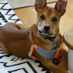 Carolina Dog Ausführliche Rassebeschreibung, Fotos, Intelligenz, Hundenamen, Hypoallergene: nein