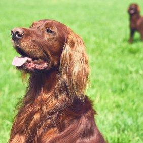 Irish Red Setter Ausführliche Rassebeschreibung, Fotos, Intelligenz, Hundenamen, Hypoallergene: nein
