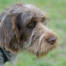 Český fousek Ausführliche Rassebeschreibung, Fotos, Intelligenz, Hundenamen, Hypoallergene: nein