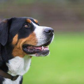 Grosser Schweizer Sennenhund Ausführliche Rassebeschreibung, Fotos, Intelligenz, Hundenamen, Hypoallergene: nein