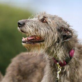 Irischer Wolfshund Ausführliche Rassebeschreibung, Fotos, Intelligenz, Hundenamen, Hypoallergene: nein