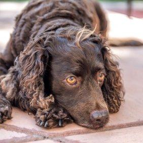 American Water Spaniel Ausführliche Rassebeschreibung, Fotos, Intelligenz, Hundenamen, Hypoallergene: nein