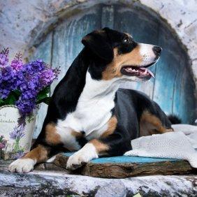 Appenzeller Sennenhund Ausführliche Rassebeschreibung, Fotos, Intelligenz, Hundenamen, Hypoallergene: nein