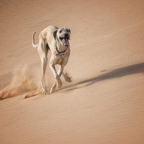 Sloughi Ausführliche Rassebeschreibung, Fotos, Intelligenz, Hundenamen, Hypoallergene: nein