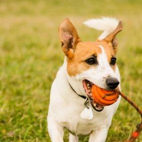 Jack Russell Terrier Ausführliche Rassebeschreibung, Fotos, Intelligenz, Hundenamen, Hypoallergene: nein