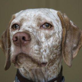 Braque du Bourbonnais Ausführliche Rassebeschreibung, Fotos, Intelligenz, Hundenamen, Hypoallergene: nein