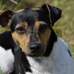 Terrier Brasileiro Ausführliche Rassebeschreibung, Fotos, Intelligenz, Hundenamen, Hypoallergene: nein