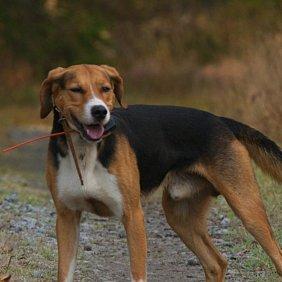 Finnischer Laufhund Ausführliche Rassebeschreibung, Fotos, Intelligenz, Hundenamen, Hypoallergene: nein