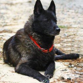 Norwegischer Elchhund schwarz Ausführliche Rassebeschreibung, Fotos, Intelligenz, Hundenamen, Hypoallergene: nein