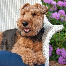 Welsh Terrier Ausführliche Rassebeschreibung, Fotos, Intelligenz, Hundenamen, Hypoallergene: ja