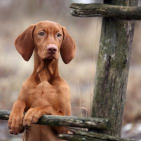 Kurzhaariger Ungarischer Vorstehhund Ausführliche Rassebeschreibung, Fotos, Intelligenz, Hundenamen, Hypoallergene: nein