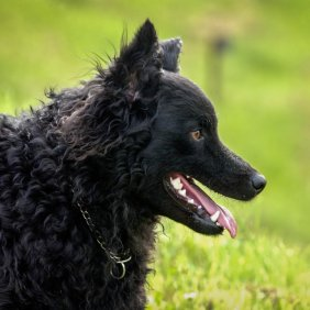 Kroatischer Schäferhund Ausführliche Rassebeschreibung, Fotos, Intelligenz, Hundenamen, Hypoallergene: nein