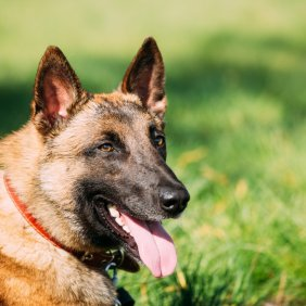 Malinois Ausführliche Rassebeschreibung, Fotos, Intelligenz, Hundenamen, Hypoallergene: nein